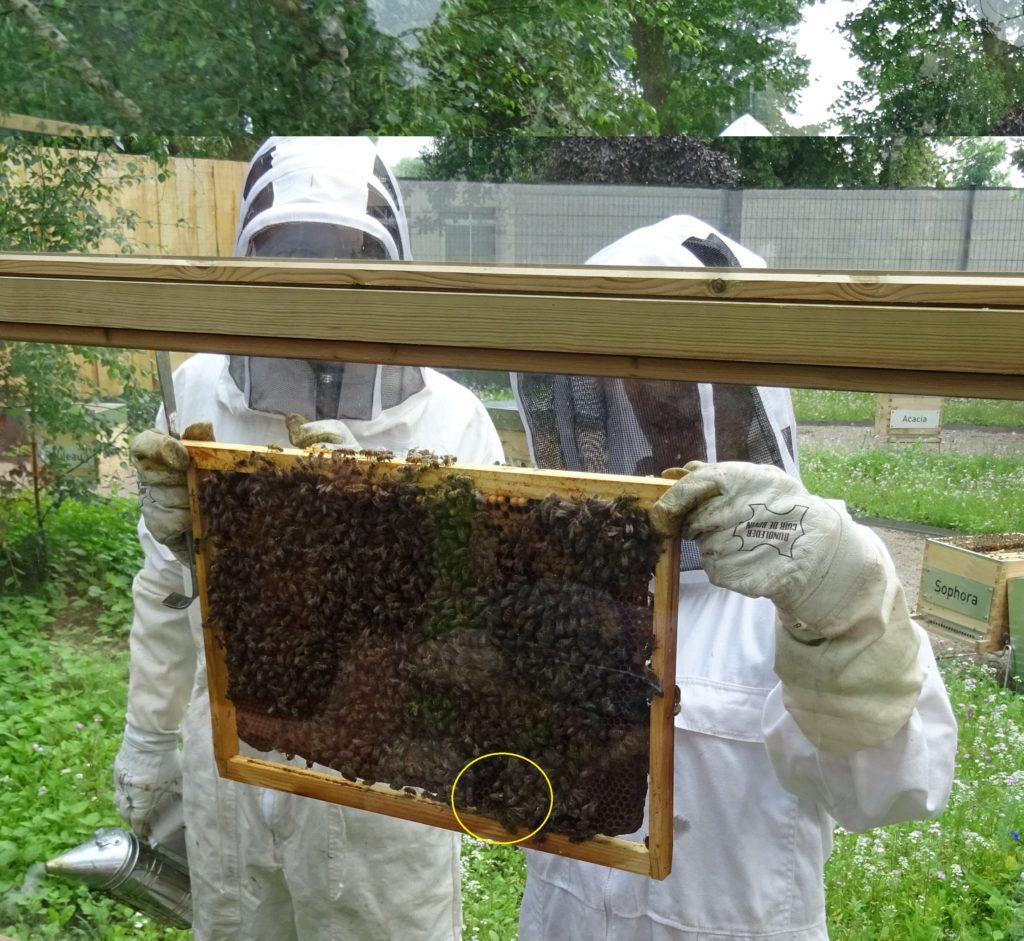 La reine de la ruche SOPHORA mise en évidence !